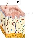 Open Papillomaviruses