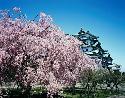 Open Cherry Blossom Festival