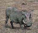 Open Warthog
