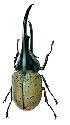 Open scarab beetle