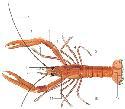 Open lobster