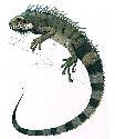 Open iguana