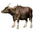 Open Water buffalo