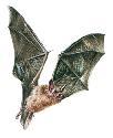 Open Vampire bats