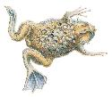 Open toad
