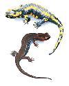 Open salamander