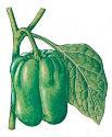 Open Bell pepper