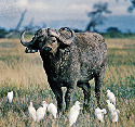 Open African buffalo